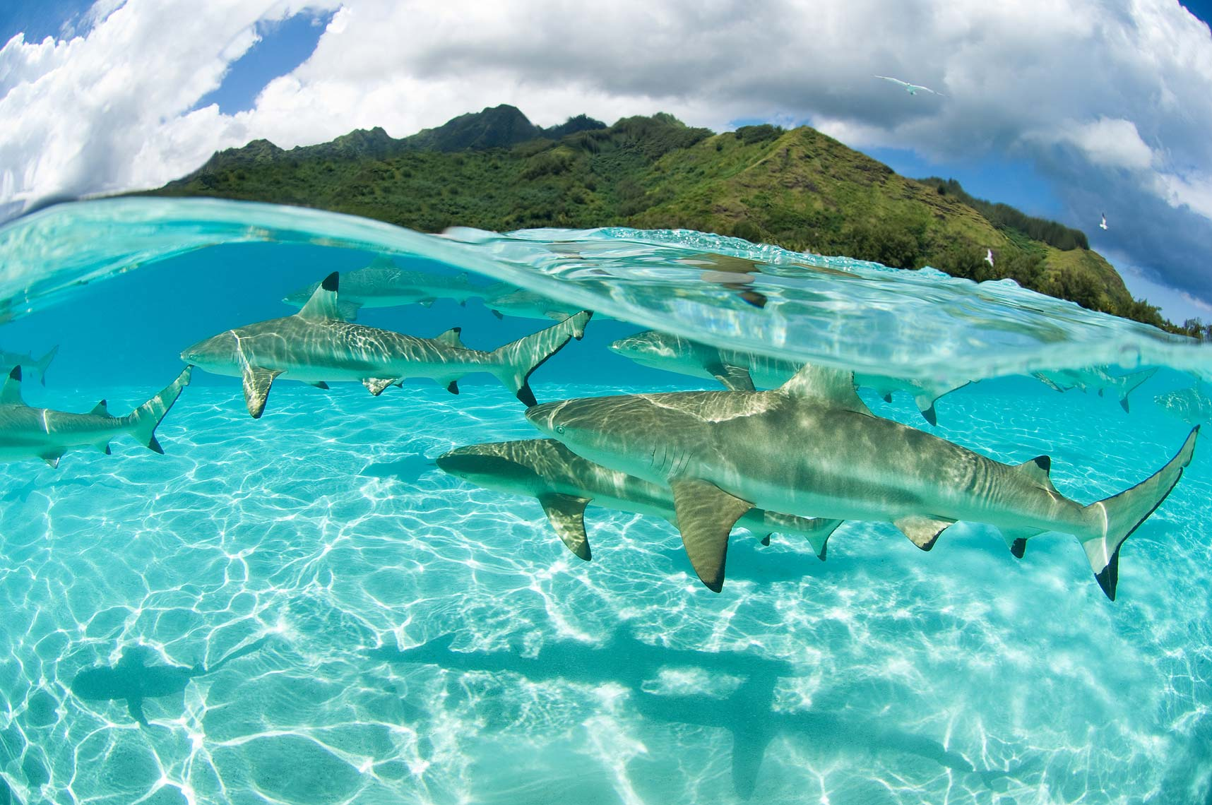 reef sharks Moorea underwater view