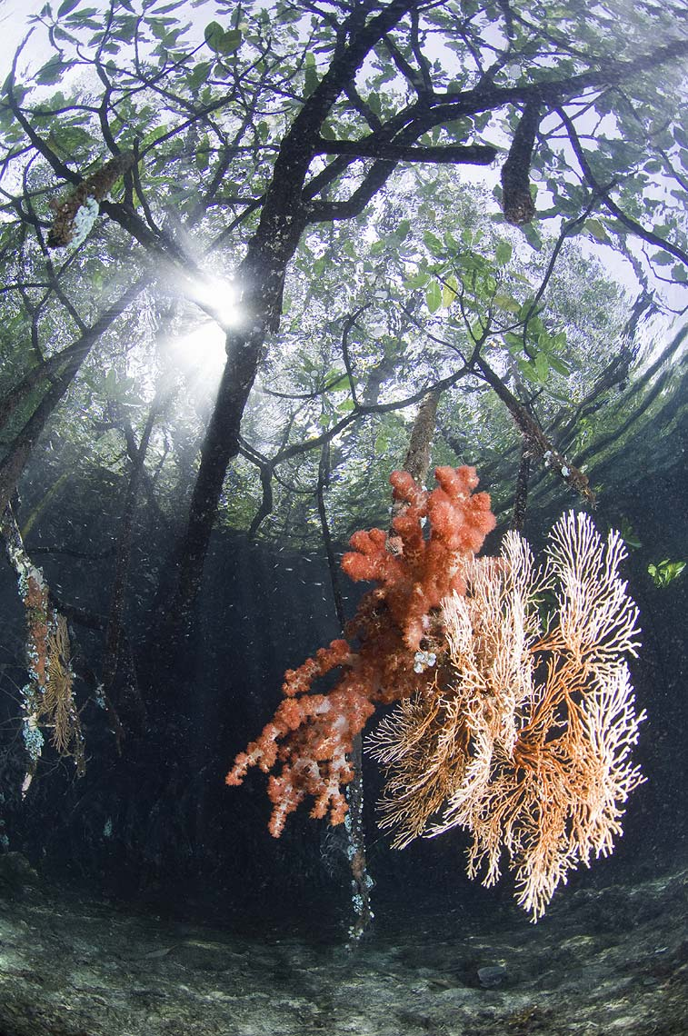 mangroves and coral indonesia