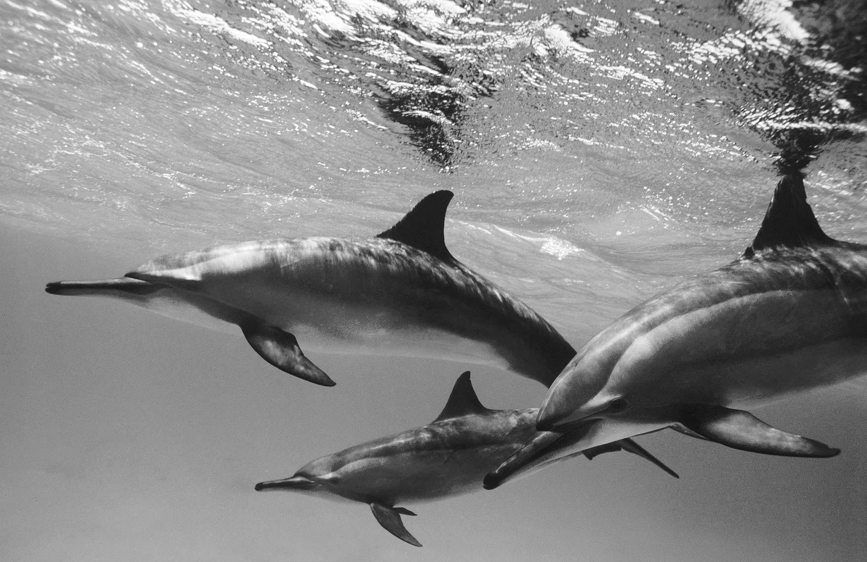 spinner dolphins Red Sea